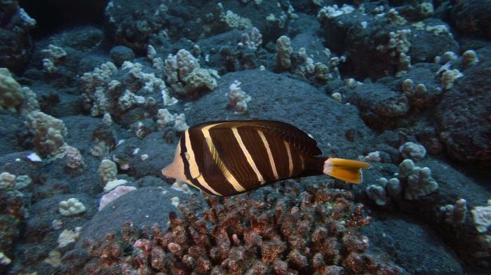 Zebrasoma velifer SailfinTang DMS