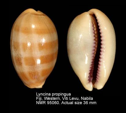Lyncina propinqua