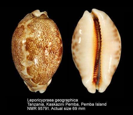 Leporicypraea geographica
