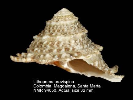 Lithopoma brevispina