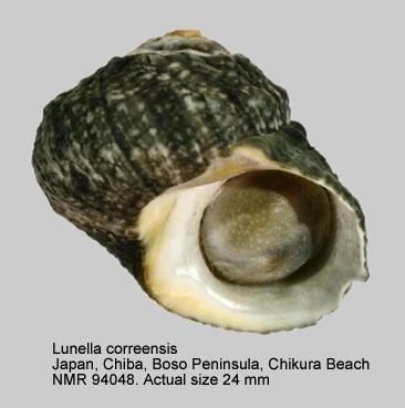 Lunella correensis