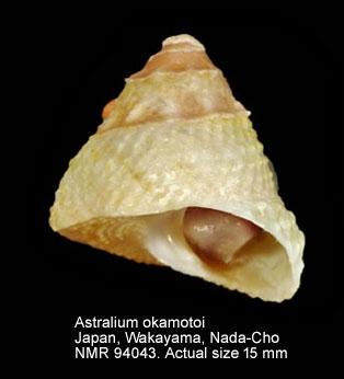 Astralium okamotoi