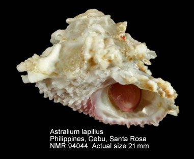 Astralium lapillus