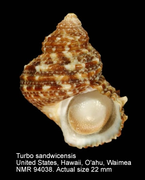 Turbo sandwicensis