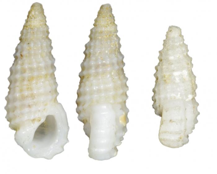 Rissoina hystrix Souverbie, 1877