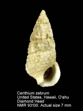 Cerithium zebrum