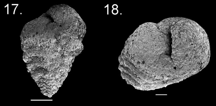 Textularia jparkeri holotype