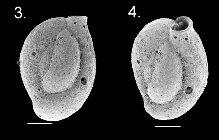 Quinqueloculina baccaerti holotype
