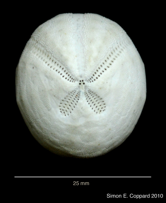 Agassizia scrobiculata, aboral view of the denuded test