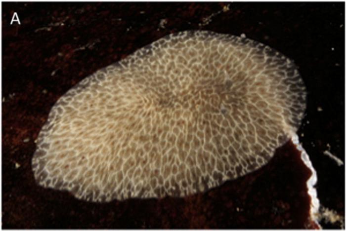 Hoploplana elisabelloi