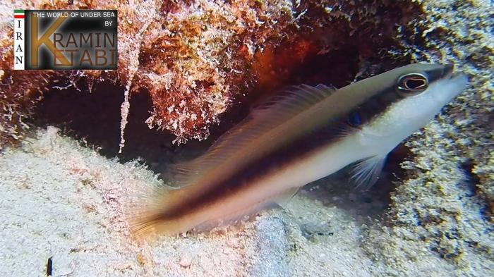 Pseudochromis nigrovittatus
