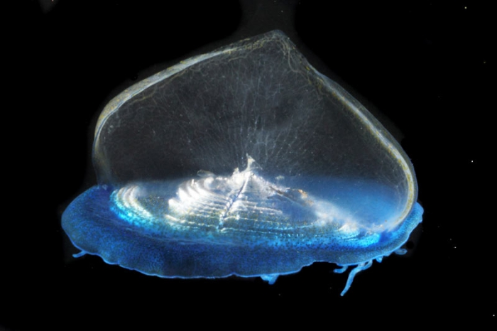 Velella velella, mouth of Brunswick River, New South Wales, Australia