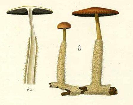 Agaricus ammophilus