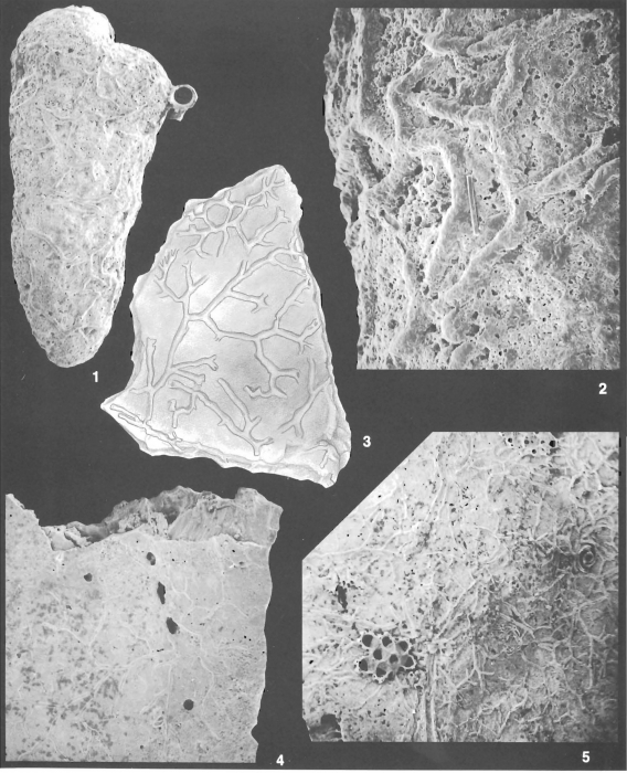 Sagenina divaricans Cushman identified specimen