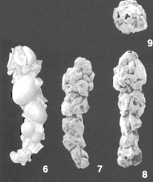 Reophax testaceus Wiesner identified specimen