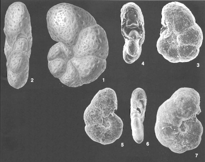 Haplophragmoides pusillus Collins identified specimen