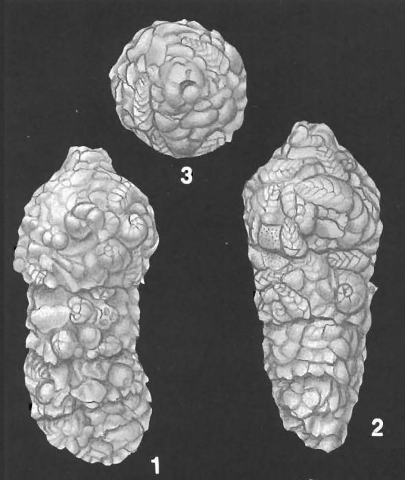 Ammobaculites cylindricus Cushman identified specimen