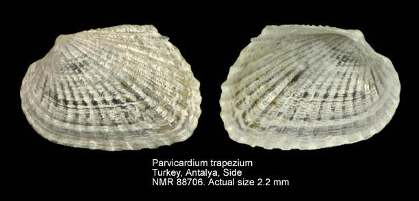 Parvicardium trapezium