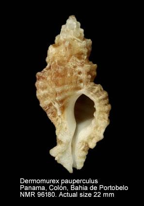 Dermomurex pauperculus
