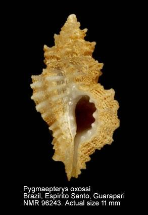 Favartia oxossi