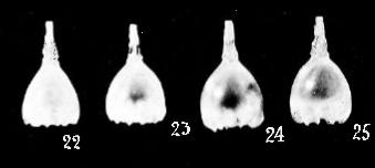 Lagena pliocenica Cushman & Gray, 1946