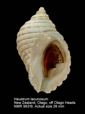 Haustrum lacunosum