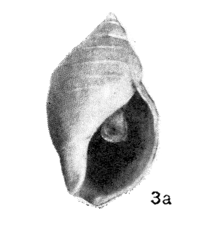 Buccinum baerii (Middendorff, 1848)