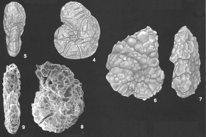 Labrospira spiculotesta (Zheng) identified specimen