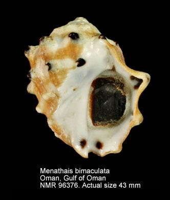 Menathais bimaculata