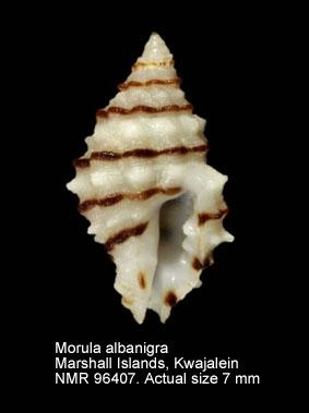 Morula albanigra