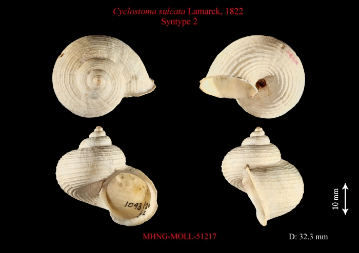 Cyclostoma sulcata Lamarck, 1822