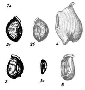 Nodobaculariella sulcata (Reuss, 1850)