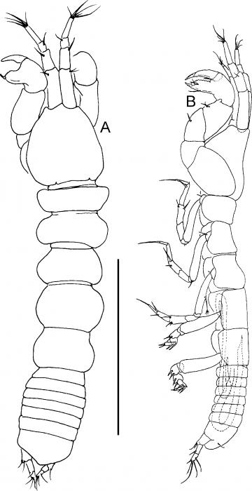 Acinoproskelos vermes