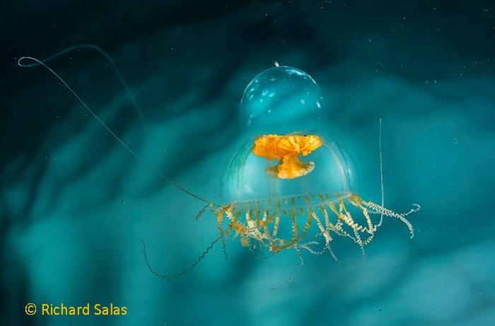 Catablema vesicarium medusa from Greenland