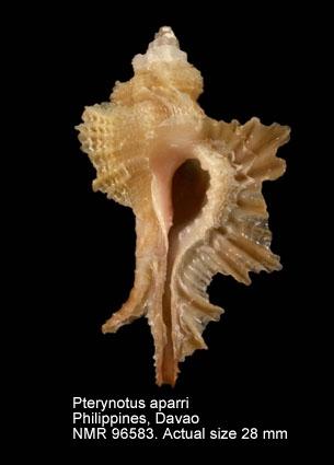 Pterynotus aparrii