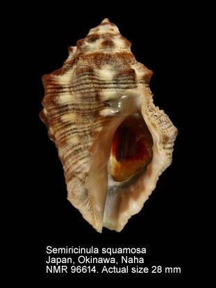 Semiricinula squamosa