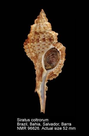 Siratus coltrorum