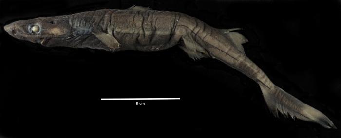 Etmopterus marshae