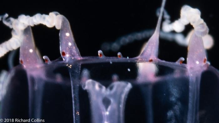 Merga violacea medusa, from Florida, Eastern Atlantic
