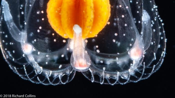 Thecocodium quadratum medusa, from Florida, Eastern Atlantic