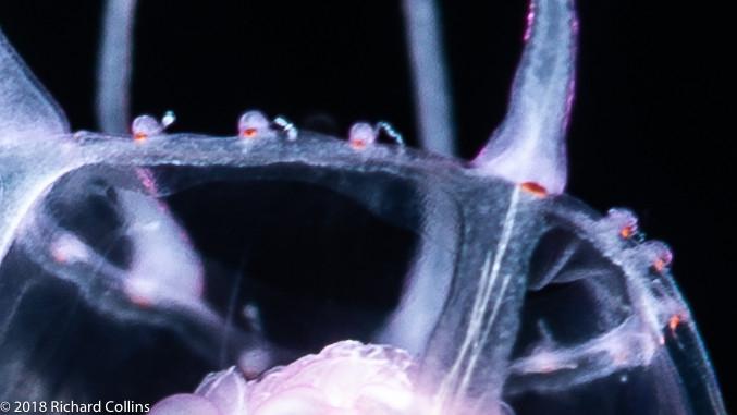 Cirrhitiara superba medusa, from Florida, Eastern Atlantic