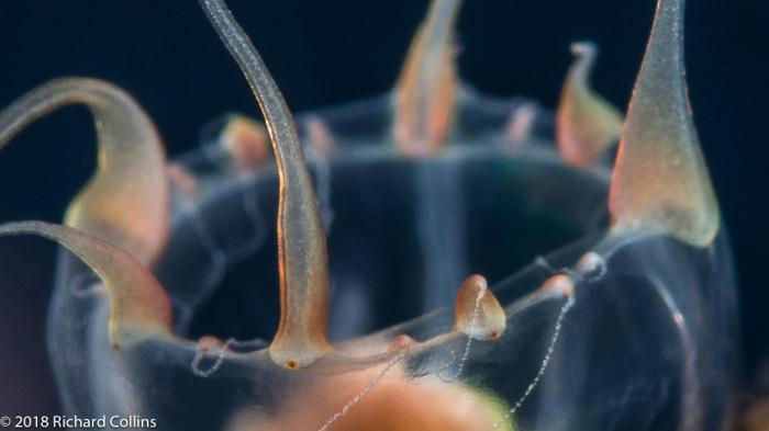 Leuckartiara cf octona medusa from Florida, Western Atlantic
