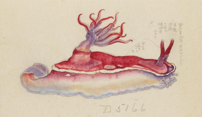 Hypselodoris rositoi, drawing by Kumataro Ito