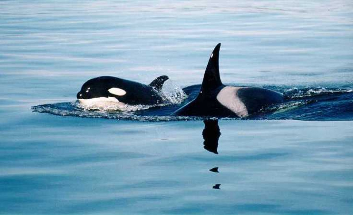 Orcinus orca - killer whale (mum and calf)