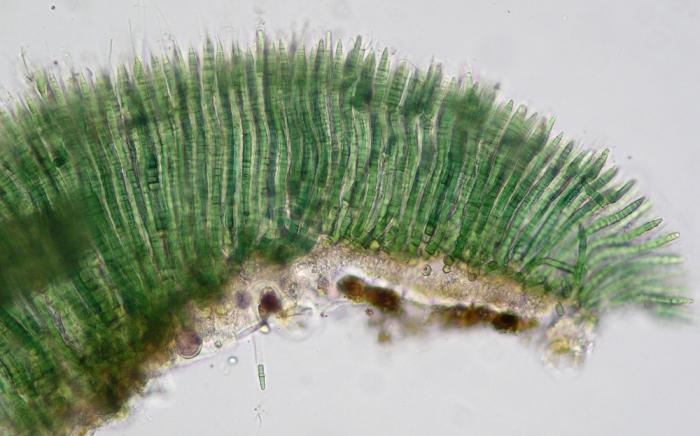 Calothrix scopulorum