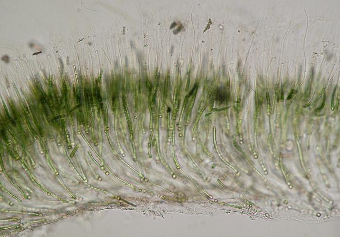 Rivularia bullata