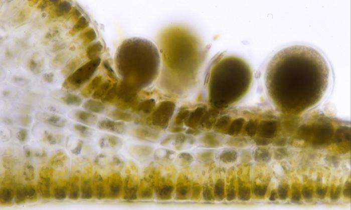 Dictyopteris ambigua
