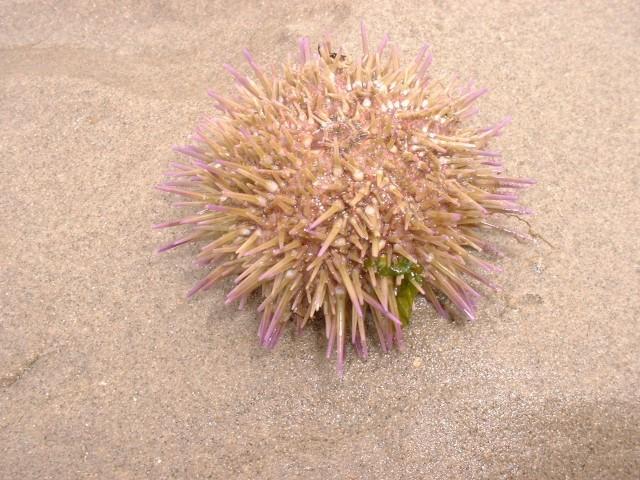 zeeappel