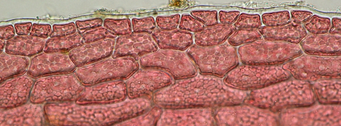 Acrosorium ciliolatum