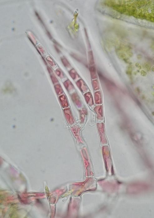 Acrochaetium naumannii